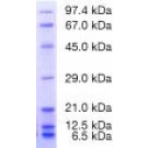 Protein Test Mixture 6 for SDS PAGE